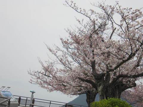 1・屋島展望台の桜.JPG