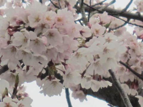 1・屋島展望台の桜1.JPG