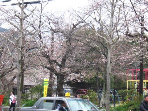 1・嵐山サクラ.JPG