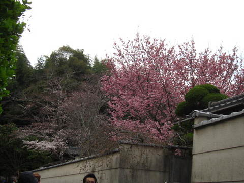 1・嵐山竹林桜.JPG