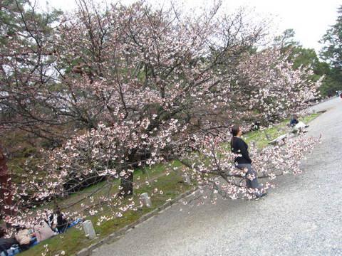 1・御所桜.JPG