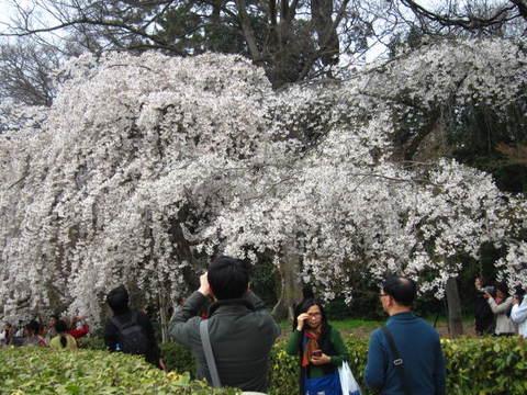 1・御所桜・2.JPG