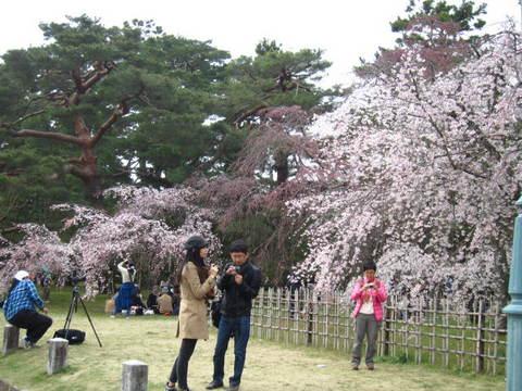 1・御所桜・3.JPG