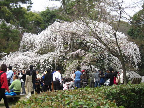 1・御所桜・5.JPG