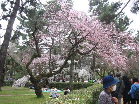 1・御所桜・7.JPG