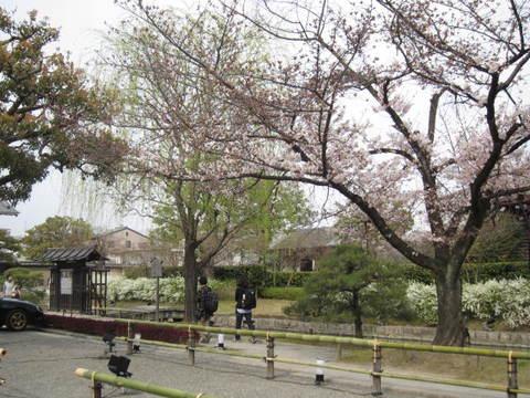 1・東寺の桜1.JPG
