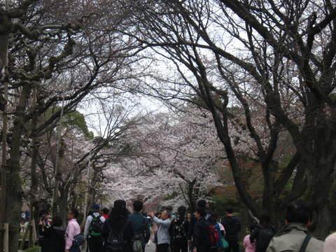 2・国・二条城桜2.JPG