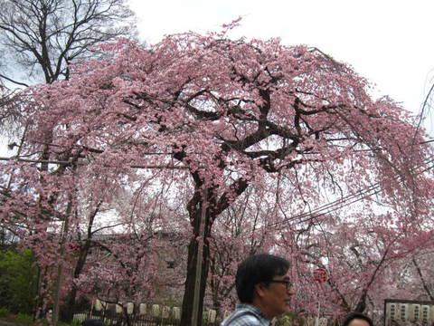 2・平野・しだれ桜.JPG