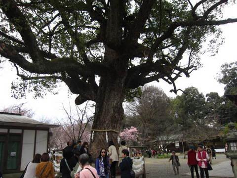 2・平野神社御神木.JPG