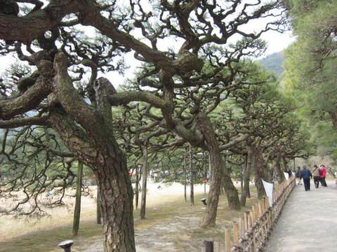 2・栗林公園松3.JPG