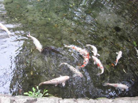 2・栗林公園池鯉2.JPG