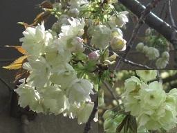 ウコン桜・2.JPG