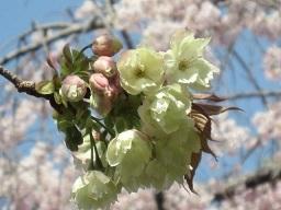 ウコン桜・3.JPG