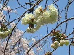 ウコン桜・4.JPG