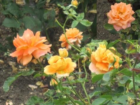 オレンジの薔薇・2.JPG