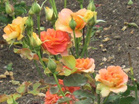オレンジの薔薇・3.JPG