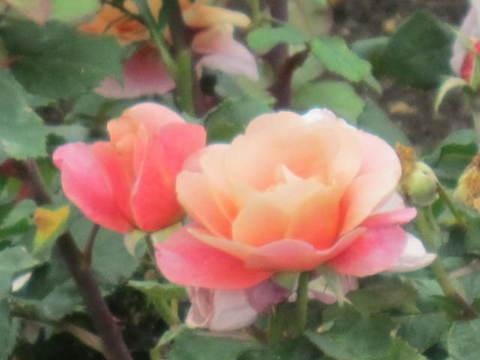 オレンジの薔薇・4.JPG