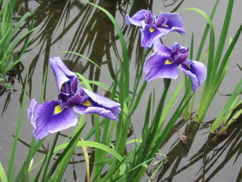 カキ・紫春の海.JPG