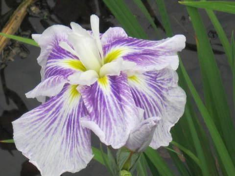 カキ・紫11.JPG