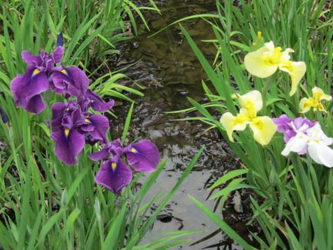 カキ・紫13.JPG