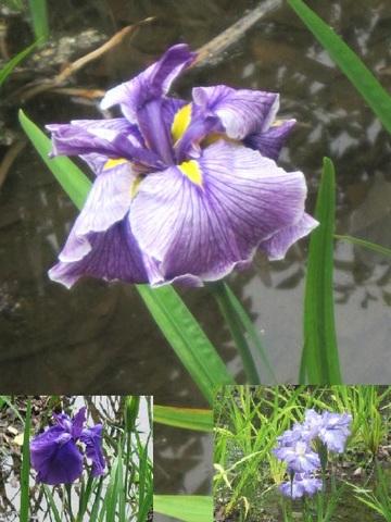 カキ・紫6.JPG
