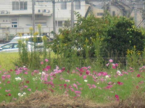 コスモス広場・1.JPG