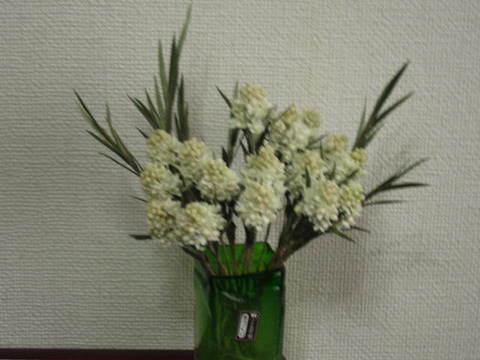 コンペイトウの花.JPG