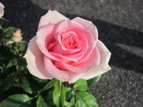 バラ・1.JPG