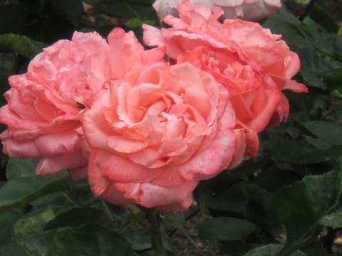 ピンクの薔薇・4.JPG