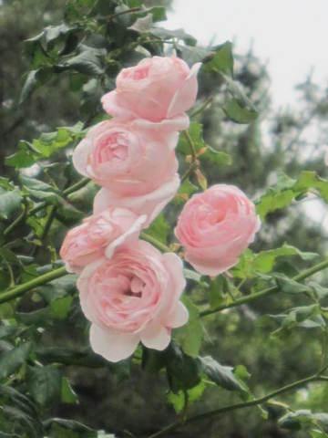 ピンクの薔薇・5.JPG