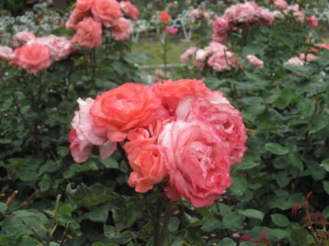 ピンクの薔薇・7.JPG