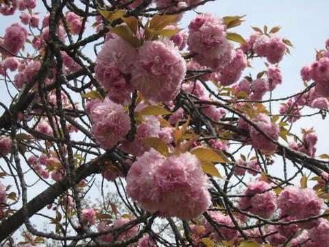 八重桜・1.JPG