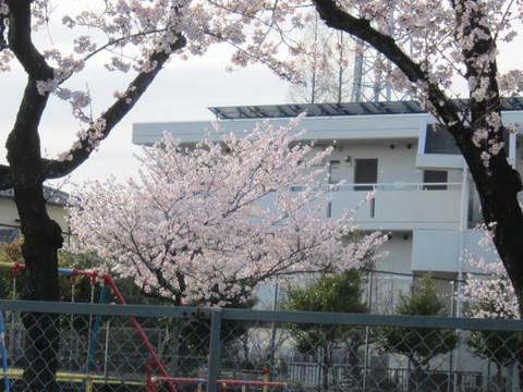 公園の桜・2.JPG