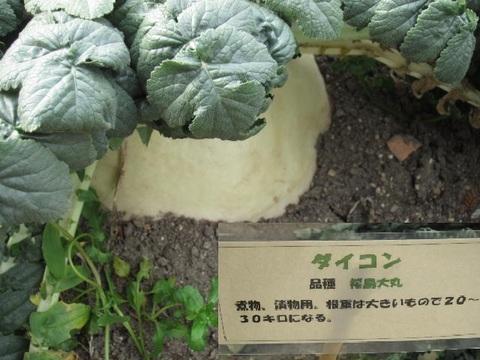 大根・桜島1.JPG