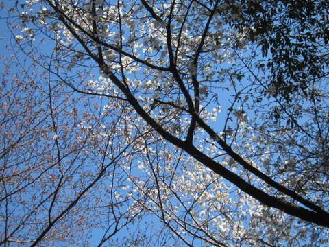奥ノ院の桜・1.JPG