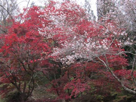 小原役場の桜1.JPG