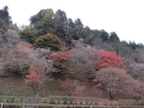 小原役場の桜5.JPG