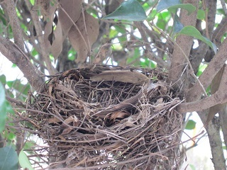 庭の木・巣.JPG