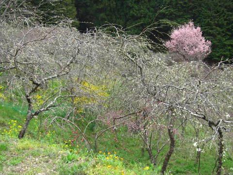 旭の花桃・1.JPG