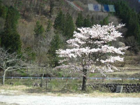 月川の桜.JPG