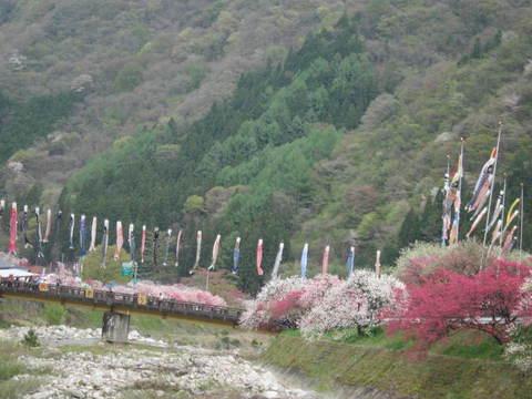 月川・鯉のぼり3.JPG