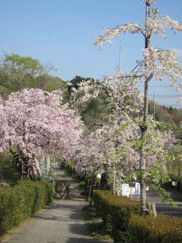 枝垂れ桜・11.JPG