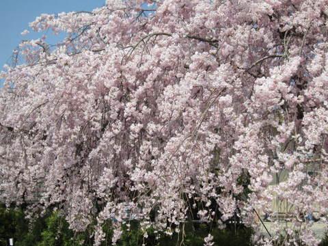 枝垂れ桜・4.JPG