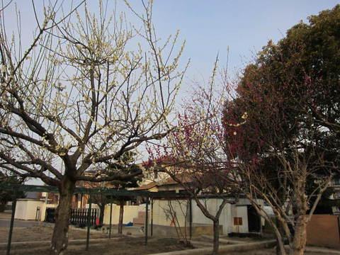 校庭の梅.JPG