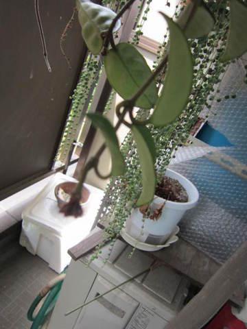 桜蘭・3.JPG