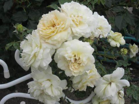白バラ・3.JPG
