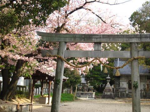 神社の桜・3.JPG