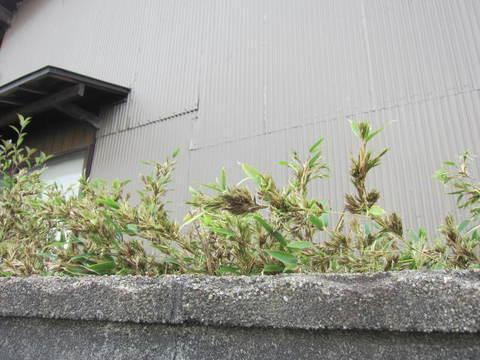 竹の花・1.JPG
