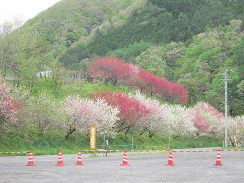 花桃・6.JPG
