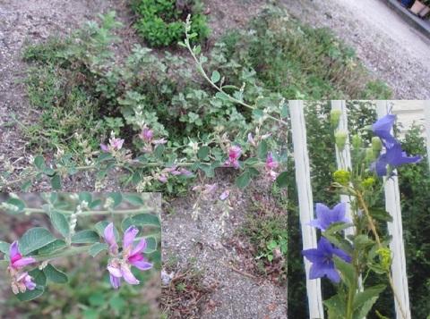 萩の花.JPG